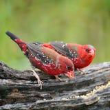 Αρσενικό κόκκινο Avadavat Στοκ Φωτογραφία