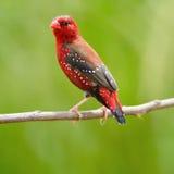 Αρσενικό κόκκινο Avadavat Στοκ Φωτογραφίες