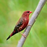 Αρσενικό κόκκινο Avadavat Στοκ εικόνα με δικαίωμα ελεύθερης χρήσης