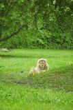 Αρσενικό λιοντάρι που βάζει στα grasslandss στοκ εικόνες