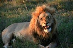 Αρσενικό λιοντάρι που βρίσκεται στη χλόη με τα στοματικά μερικώς ανοικτά αποκαλύπτοντας δόντια στοκ εικόνα
