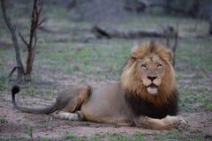 Αρσενικό λιοντάρι στην πρωταρχική στάση επιφυλακών του ταυτόχρονα κάνοντας την άμεση οπτική επαφή στοκ εικόνα