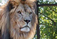 Αρσενικό λιοντάρι την σε όλη δόξα του Στοκ Φωτογραφία