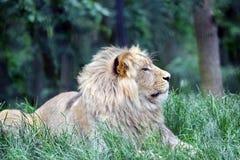 Αρσενικό λιοντάρι Katanga που βρίσκεται στη χλόη στοκ εικόνα με δικαίωμα ελεύθερης χρήσης