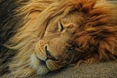 αρσενικό λιονταριών κινηματογραφήσεων σε πρώτο πλάνο Στοκ Φωτογραφίες