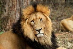 αρσενικό λιονταριών Στοκ Εικόνες