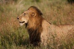 αρσενικό λιονταριών Στοκ Φωτογραφίες