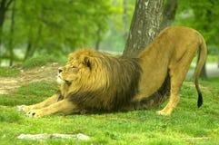 αρσενικό λιονταριών Στοκ εικόνα με δικαίωμα ελεύθερης χρήσης