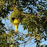 Αρσενικό λοφιοφόρο πουλί υφαντών που χτίζει τη φωλιά του στοκ φωτογραφίες με δικαίωμα ελεύθερης χρήσης