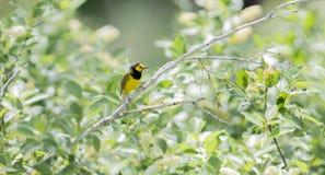 Αρσενικό με κουκούλα citrina Setophaga συλβιών στην πυκνή βλάστηση στοκ εικόνες με δικαίωμα ελεύθερης χρήσης