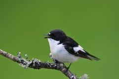 Αρσενικό παρδαλό Flycatcher Στοκ Φωτογραφίες