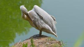 Αρσενικό πελεκάνων που καθαρίζει τα φτερά του στοκ εικόνα με δικαίωμα ελεύθερης χρήσης