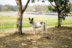 Αρσενικό περιπλανώμενο σκυλί κοντά στη λίμνη Huay Tung Tao/τη δεξαμενή ChaingMai Στοκ εικόνα με δικαίωμα ελεύθερης χρήσης