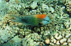 αρσενικό πολύχρωμο slingjaw wrasse στοκ εικόνες