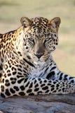 Αρσενικό πορτρέτο λεοπαρδάλεων Στοκ Εικόνες