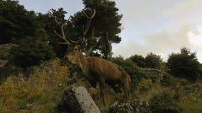 Αρσενικό πορτρέτο ελαφιών στο βουνό Parnitha στην Ελλάδα απόθεμα βίντεο