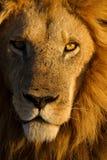 Αρσενικό πορτρέτο κινηματογραφήσεων σε πρώτο πλάνο λιονταριών Στοκ Φωτογραφίες