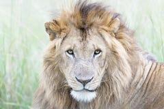 Αρσενικό πορτρέτο leo Panthera λιονταριών Στοκ φωτογραφία με δικαίωμα ελεύθερης χρήσης