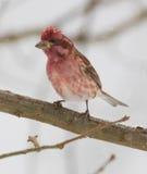 Αρσενικό πορφυρό Finch το χειμώνα στοκ φωτογραφία