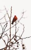 Αρσενικό πορφυρό flycatcher πουλί Στοκ εικόνα με δικαίωμα ελεύθερης χρήσης