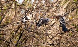 Αρσενικό πουλί Anhinga αποκαλούμενο το anhinga και snakebird τροφές Π.Μ. Anhinga Στοκ Εικόνα