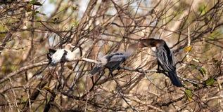 Αρσενικό πουλί Anhinga αποκαλούμενο το anhinga και snakebird τροφές Π.Μ. Anhinga Στοκ εικόνες με δικαίωμα ελεύθερης χρήσης