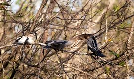 Αρσενικό πουλί Anhinga αποκαλούμενο το anhinga και snakebird τροφές Π.Μ. Anhinga Στοκ Εικόνες