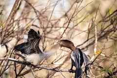 Αρσενικό πουλί Anhinga αποκαλούμενο το anhinga και snakebird τροφές Π.Μ. Anhinga Στοκ φωτογραφία με δικαίωμα ελεύθερης χρήσης