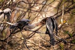 Αρσενικό πουλί Anhinga αποκαλούμενο το anhinga και snakebird τροφές Π.Μ. Anhinga Στοκ Φωτογραφία