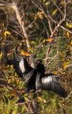 Αρσενικό πουλί Anhinga αποκαλούμενο anhinga Anhinga Στοκ Φωτογραφία