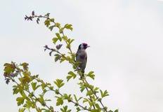 Αρσενικό πουλί Goldfinch ευρωπαϊκά στοκ φωτογραφία