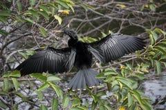 Αρσενικό πουλί Sunnning Anhinga Στοκ εικόνα με δικαίωμα ελεύθερης χρήσης