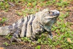 Αρσενικό πράσινο Iguana - iguana Iguana Στοκ εικόνα με δικαίωμα ελεύθερης χρήσης