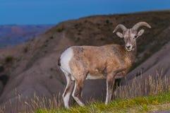 Αρσενικό προβάτων Bighorn Badlands στοκ φωτογραφίες