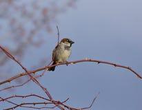 αρσενικό σπουργίτι σπιτιών κλάδων πουλιών Στοκ φωτογραφία με δικαίωμα ελεύθερης χρήσης