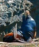 Αρσενικό σφραγίδων στον ήλιο στα εδάφη Cabo SAN Lucas τελειώνει (Los Arcos) το Μεξικό Στοκ Εικόνα