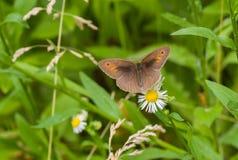 Αρσενικό της καφετιάς συνεδρίασης πεταλούδων λιβαδιών σε ένα camomile λουλούδι Στοκ εικόνες με δικαίωμα ελεύθερης χρήσης