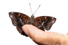 Αρσενικό της μαύρης σιαμέζας πεταλούδας πριγκήπων Στοκ φωτογραφία με δικαίωμα ελεύθερης χρήσης