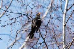 Αρσενικό τραγούδι κοτσύφων από ένα δέντρο στοκ φωτογραφίες με δικαίωμα ελεύθερης χρήσης