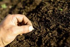 Αρσενικό χέρι που σπέρνει φυτεύοντας το σπόρο αγγουριών Στοκ Εικόνες
