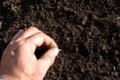 Αρσενικό χέρι που σπέρνει φυτεύοντας το σπόρο αγγουριών Στοκ Φωτογραφίες
