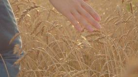 Αρσενικό χέρι του αγρότη στο χρυσό τομέα σίτου ήπια σχετικά με τα αυτιά σίτου σε αργή κίνηση απόθεμα βίντεο
