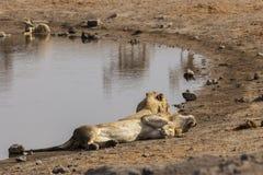 αρσενικό δύο λιονταριών Στοκ εικόνα με δικαίωμα ελεύθερης χρήσης