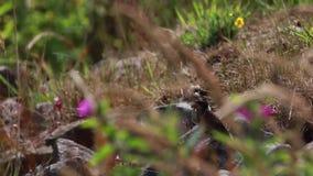 Αρσενικό ύφασμα καλάμων, schoeniclus Emberiza, με την τροφή για τους νεοσσούς του που στηρίζεται σε μια όχθη ποταμού κατά τη διάρ απόθεμα βίντεο