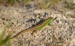 Αρσενικό agilis Lacerta σαυρών άμμου Στοκ φωτογραφία με δικαίωμα ελεύθερης χρήσης