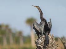 Αρσενικό Anhinga που διαδίδει τα φτερά του που ξεραίνουν Στοκ Εικόνα