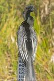 Αρσενικό Anhinga σε ένα σημάδι σταθμών ύδατος στο Everglades Στοκ Φωτογραφία