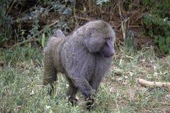 Αρσενικό Baboon στοκ εικόνα με δικαίωμα ελεύθερης χρήσης