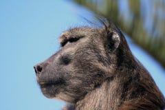 Αρσενικό baboon Στοκ φωτογραφία με δικαίωμα ελεύθερης χρήσης