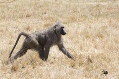 Αρσενικό baboon anubis που περπατά μεταξύ της ξηράς χλόης στη σαβάνα στην ξηρά θάλασσα Στοκ εικόνα με δικαίωμα ελεύθερης χρήσης